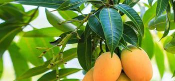Mango The King of Fruits