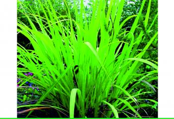 10 Health Benefits of Lemongrass