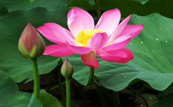 Lotus Beneficial From Tip To Toe